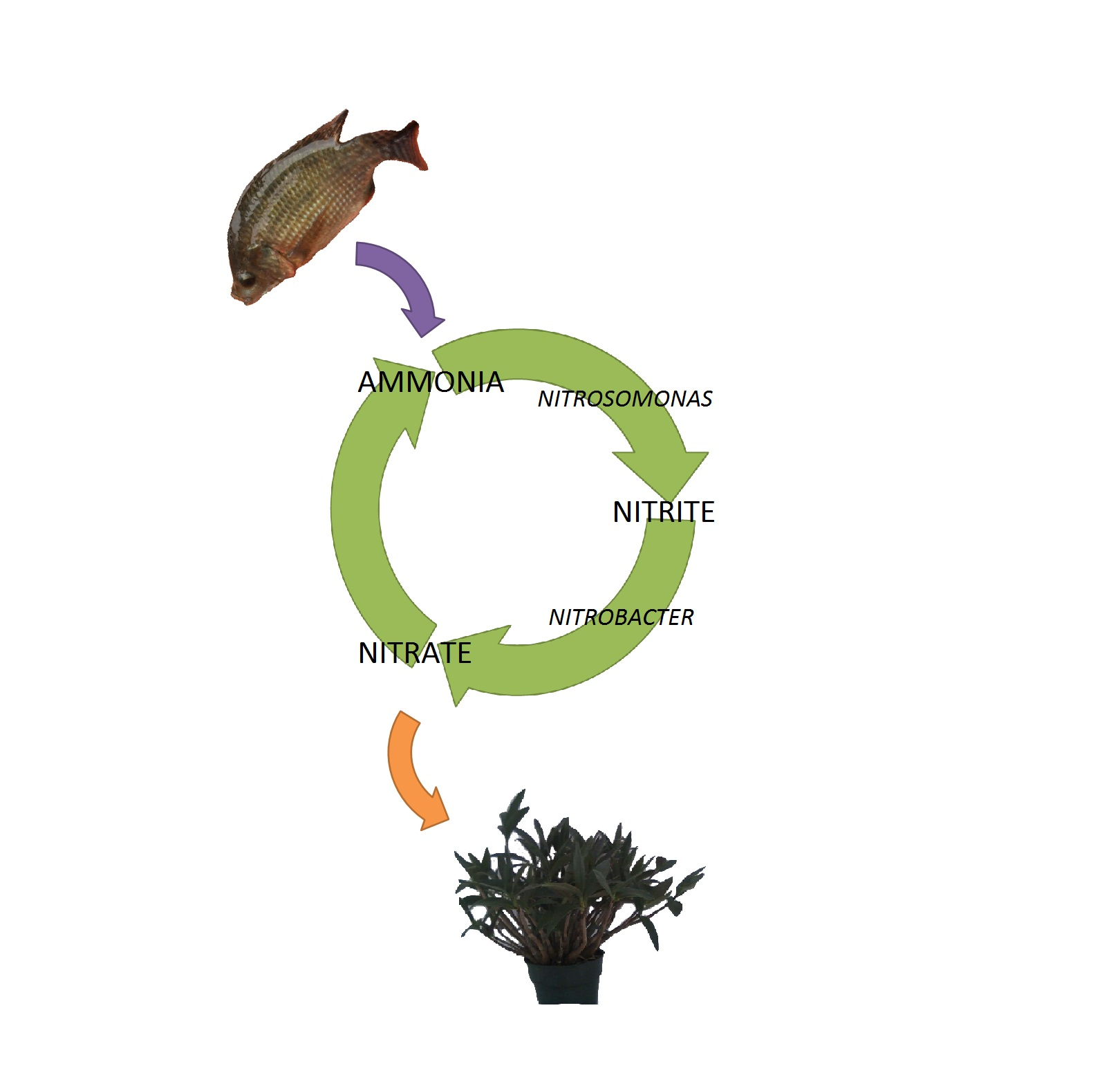 The nitrogen cycle ecoaquaponics this is a simple diagram of the nitrogen cycle pooptronica Choice Image